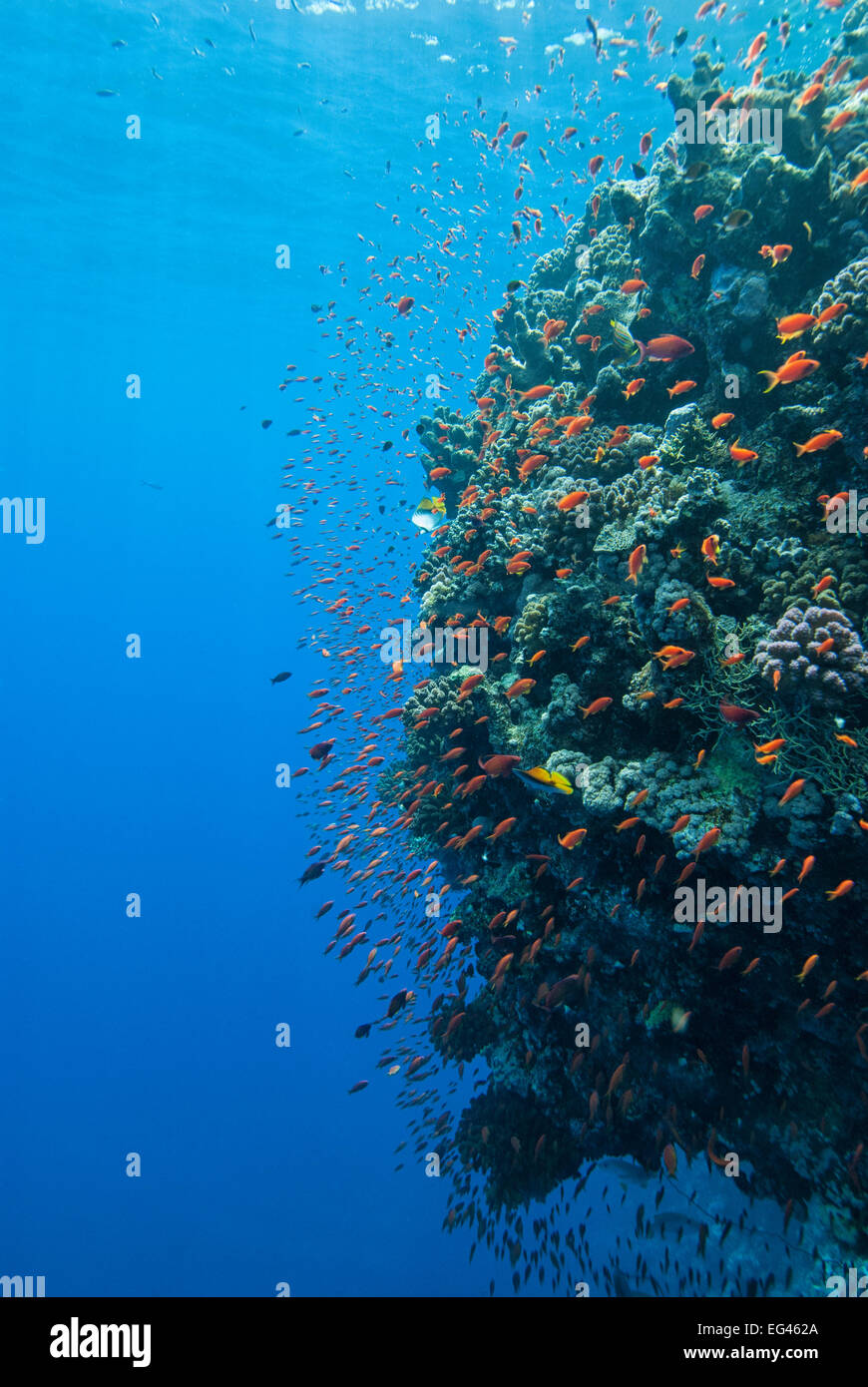 Coral wall Anthiinae schooling fish Red Sea - Stock Image