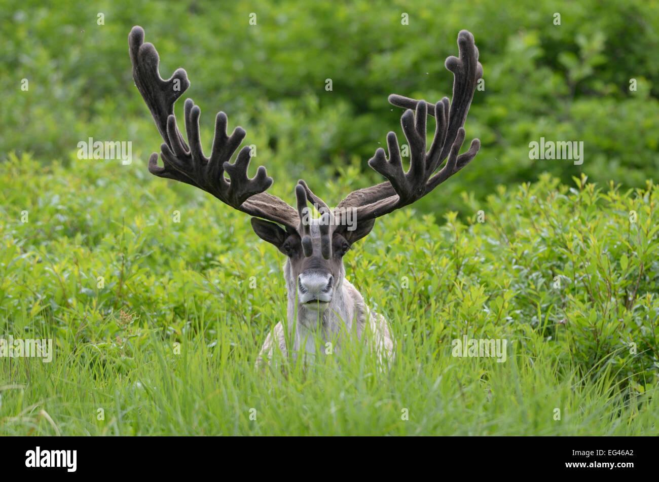 Portrait male Reindeer (Rangifer tarandus) large antlers in velvet. Kronotsky Zapovednik Nature Reserve Kamchatka - Stock Image