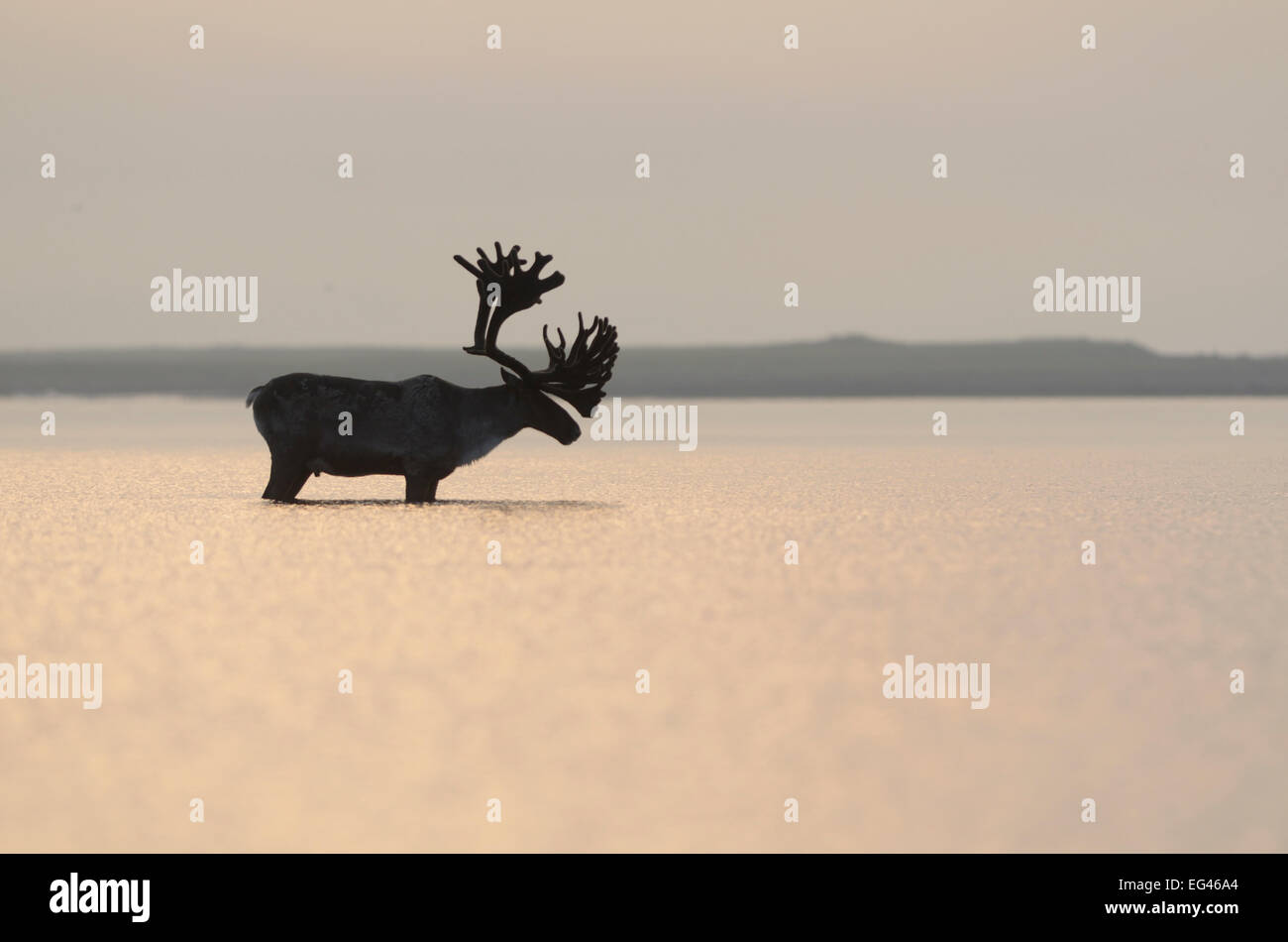 Large male Reindeer (Rangifer tarandus) standing in shallow waters the Kronotsky lagoon away biting insects. Kronotsky - Stock Image