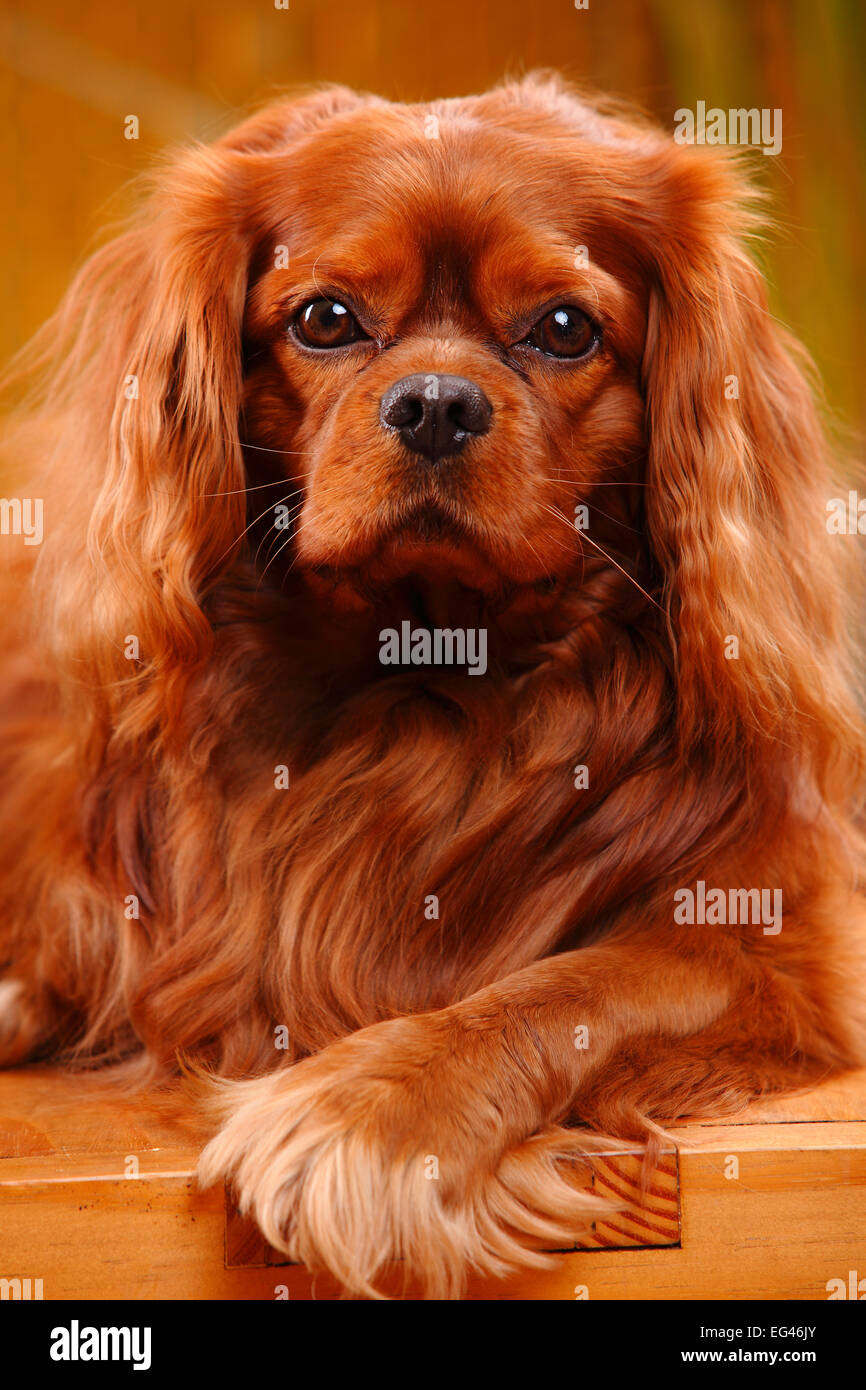Cavalier King Charles Spaniel male ruby coat - Stock Image b52b81bcfd