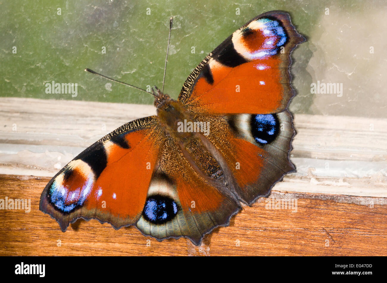 Peacock butterfly (Inachis io) resting against wood shed window Orvieto Italy June - Stock Image