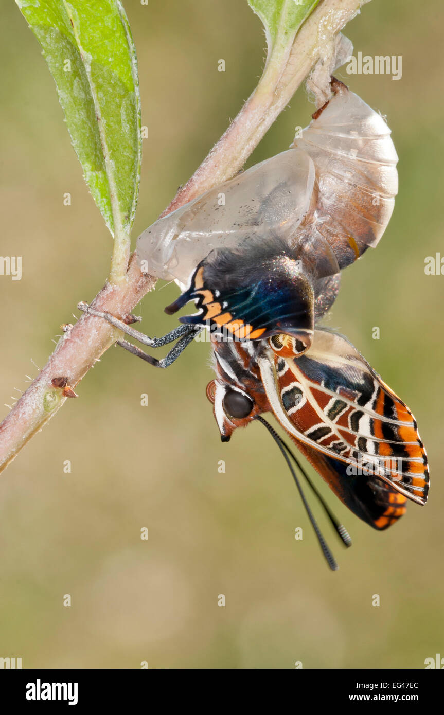 Emergence Two-tailed Pasha butterfly (Charaxes jasius) Podere Montecucco. Orvieto Umbria Italy August. Sequence - Stock Image
