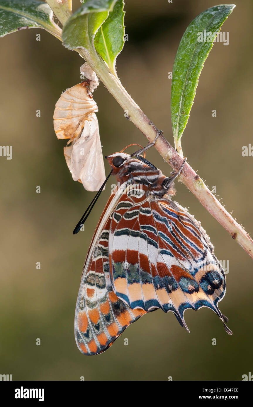 Newly emerged adult Two-tailed Pasha butterfly (Charaxes jasius) Podere Montecucco. Orvieto Umbria Italy August - Stock Image