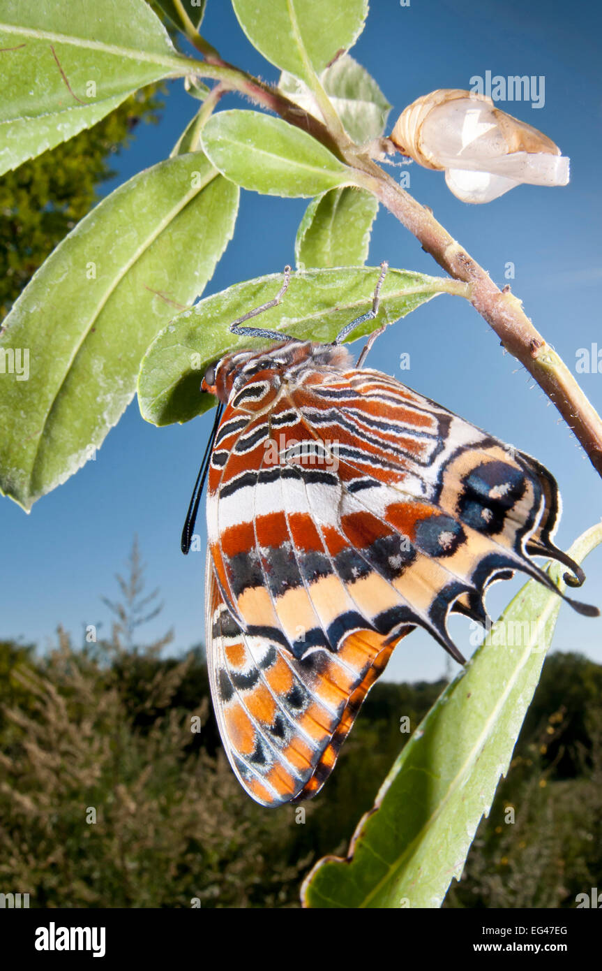 Newly emerged adult Two-tailed Pasha (Charaxes jasius) Podere Montecucco. Orvieto Umbria Italy August - Stock Image