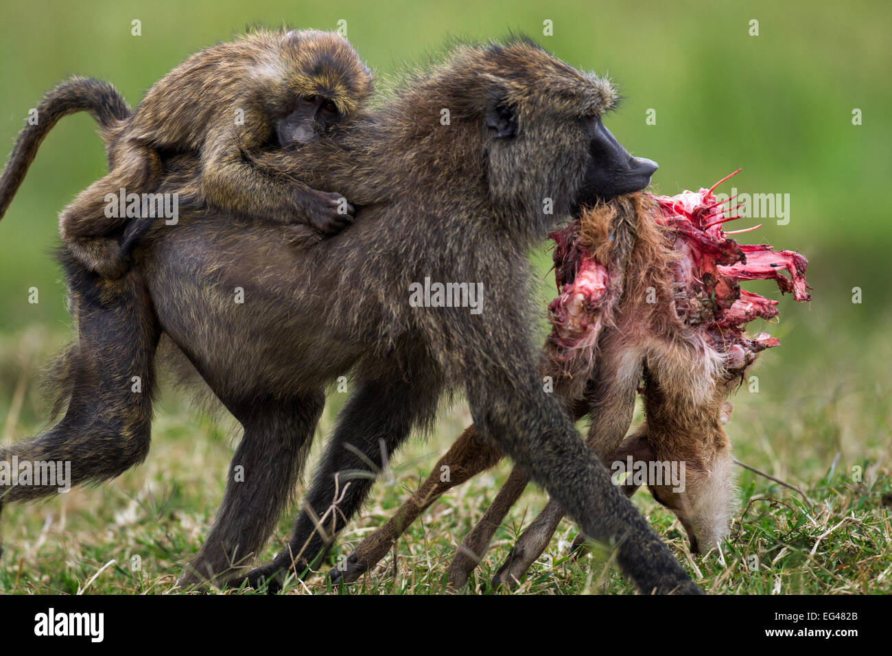 Olive baboon (Papio cynocephalus anubis) female infant on back carrying away gazelle carcass having taken it male. - Stock Image