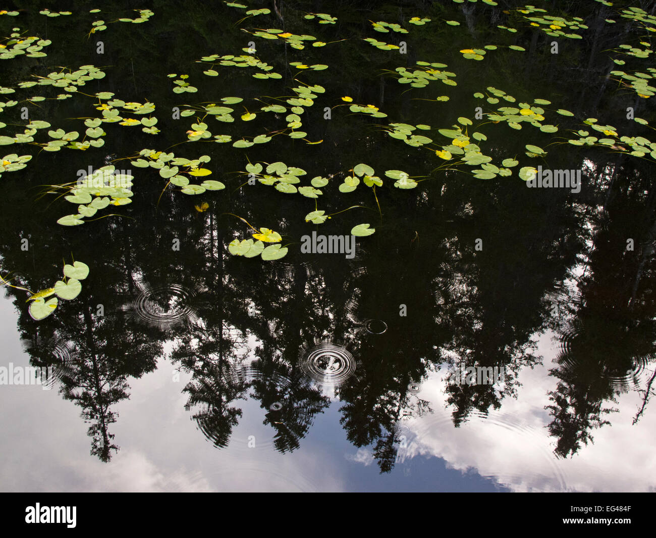 Lily pads (Nymphaceae) the reflections pine trees water reflections Tresticklan National Park Southwest Sweden September - Stock Image