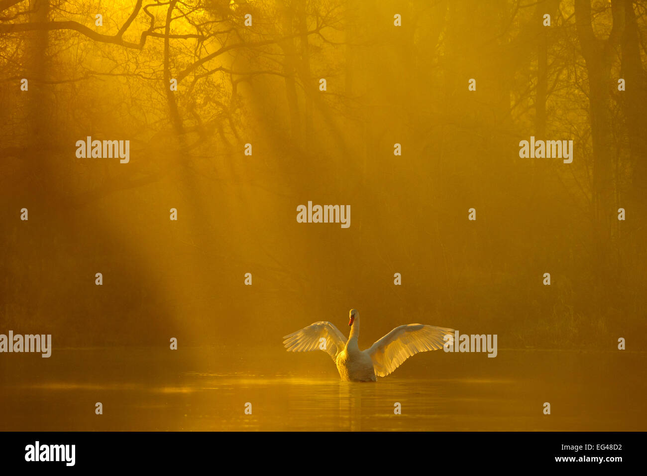 Mute swan (Cygnus olor) stretching its wings backlit at dawn Poynton Cheshire UK December - Stock Image