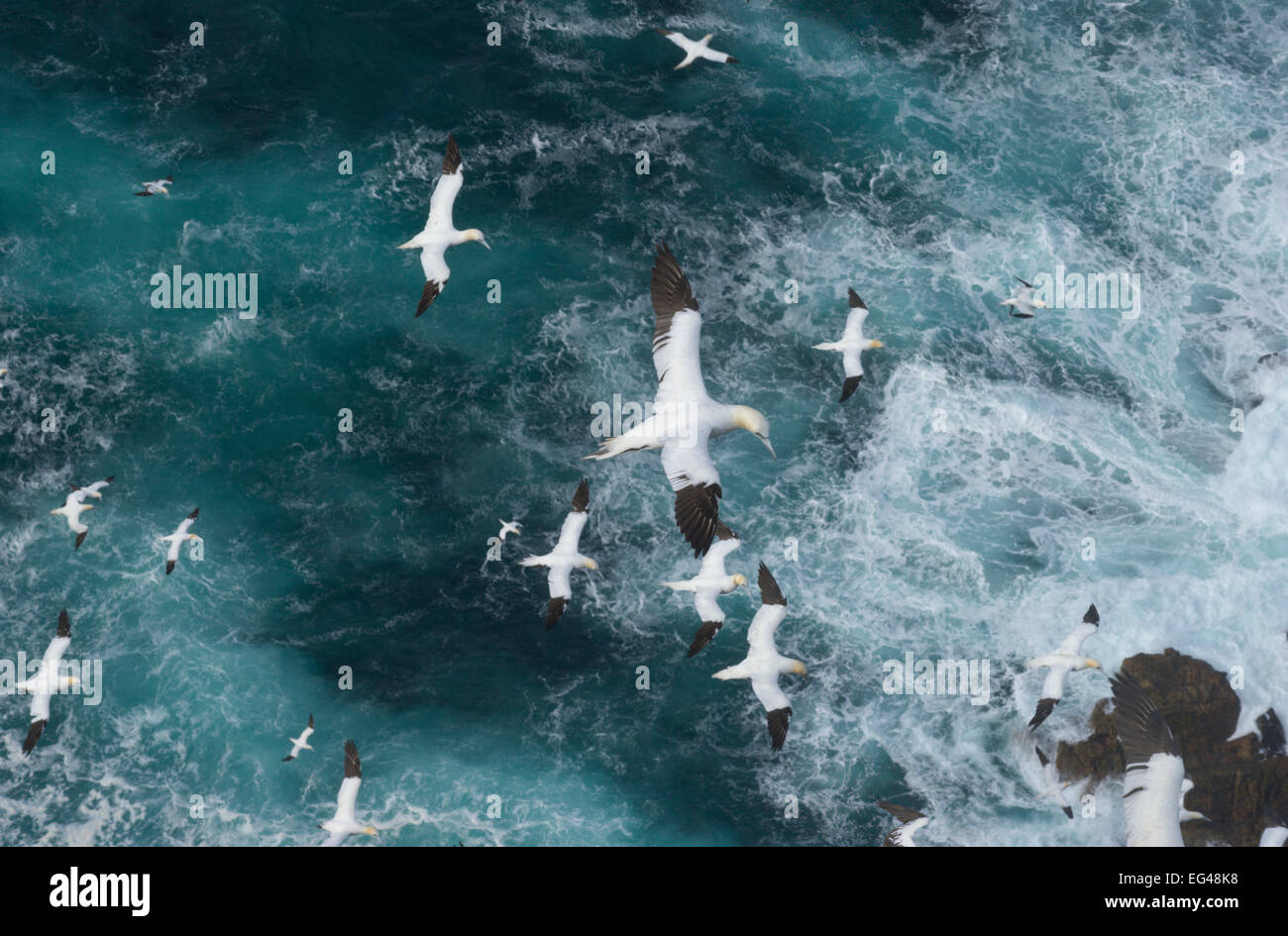 Northern gannets (Morus bassanus) in flight in Force 8 gales above raging seas. Shetland Islands Scotland UK September. Stock Photo
