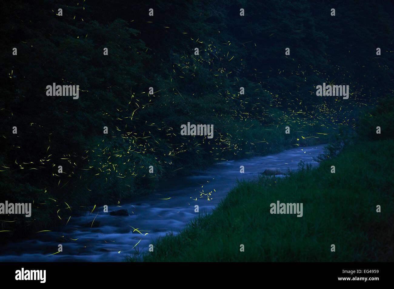 Japanese fireflies (Luciola cruciata) in flight at night Japan endemic species Hino-River Nichinan-chou Tottori - Stock Image