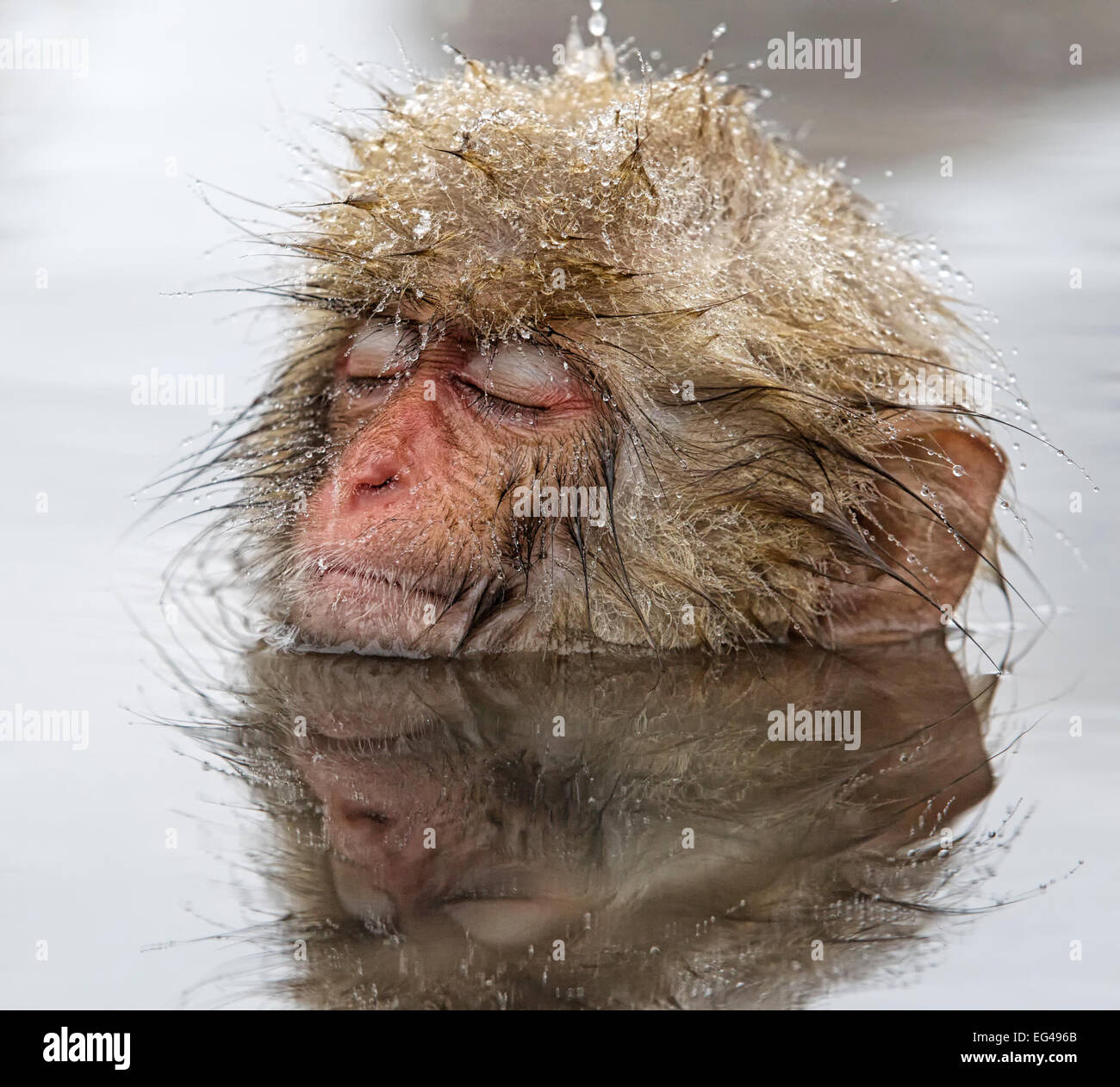Japanese Macaque (Macaca fuscata) young one appearing quite relaxed in thermal pool even falling asleep in Jigokudani - Stock Image