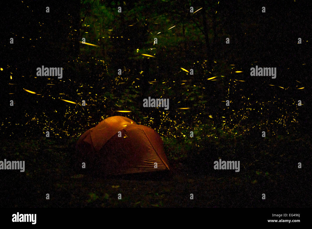Tent at night surrounded  by Fireflies (Photinus carolinus) Great Smoky Mountains National Park Tennessee USA June - Stock Image
