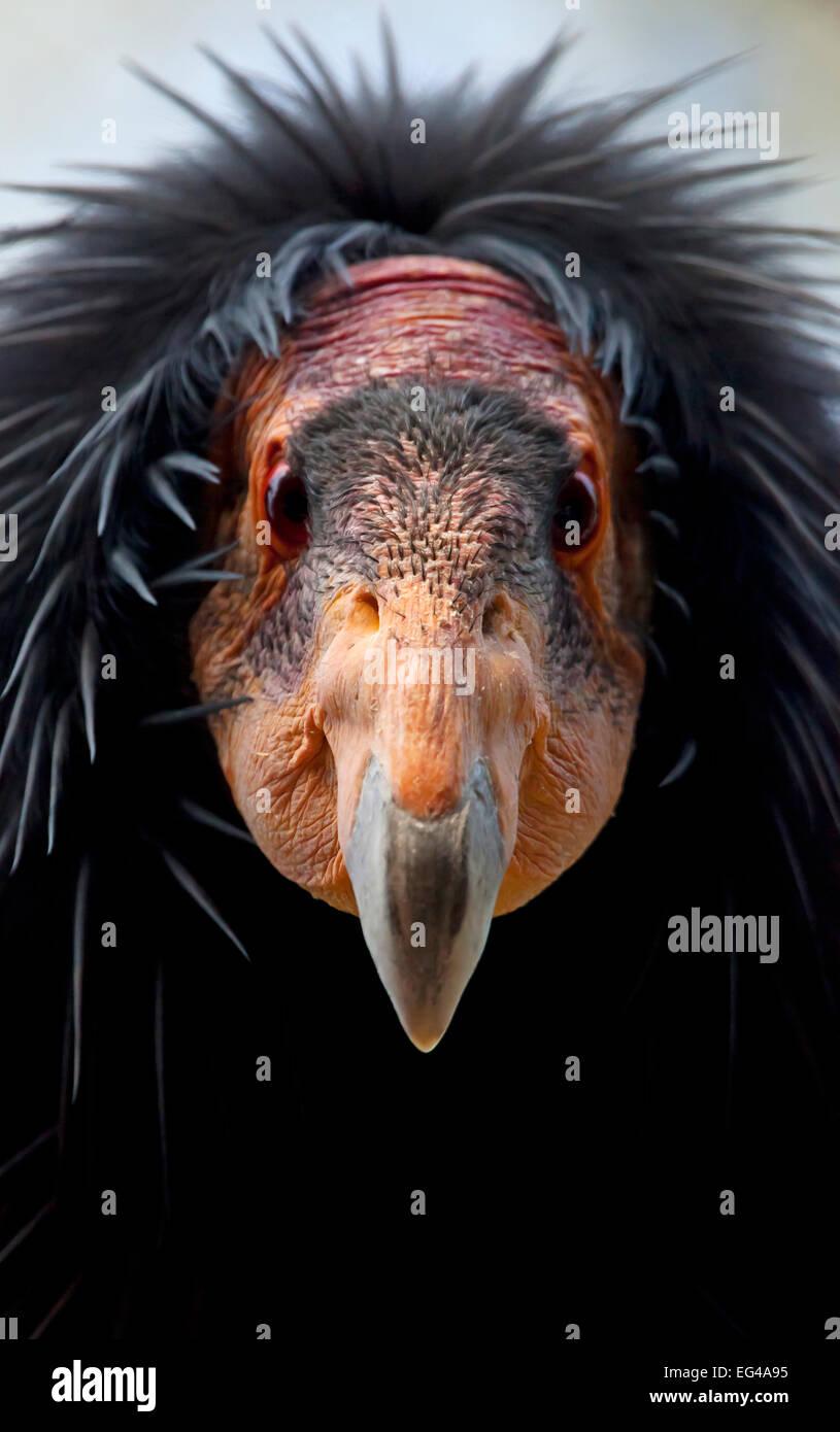 California condor (Gymnogyps californianus) IUCN Critically Endangered captive. - Stock Image