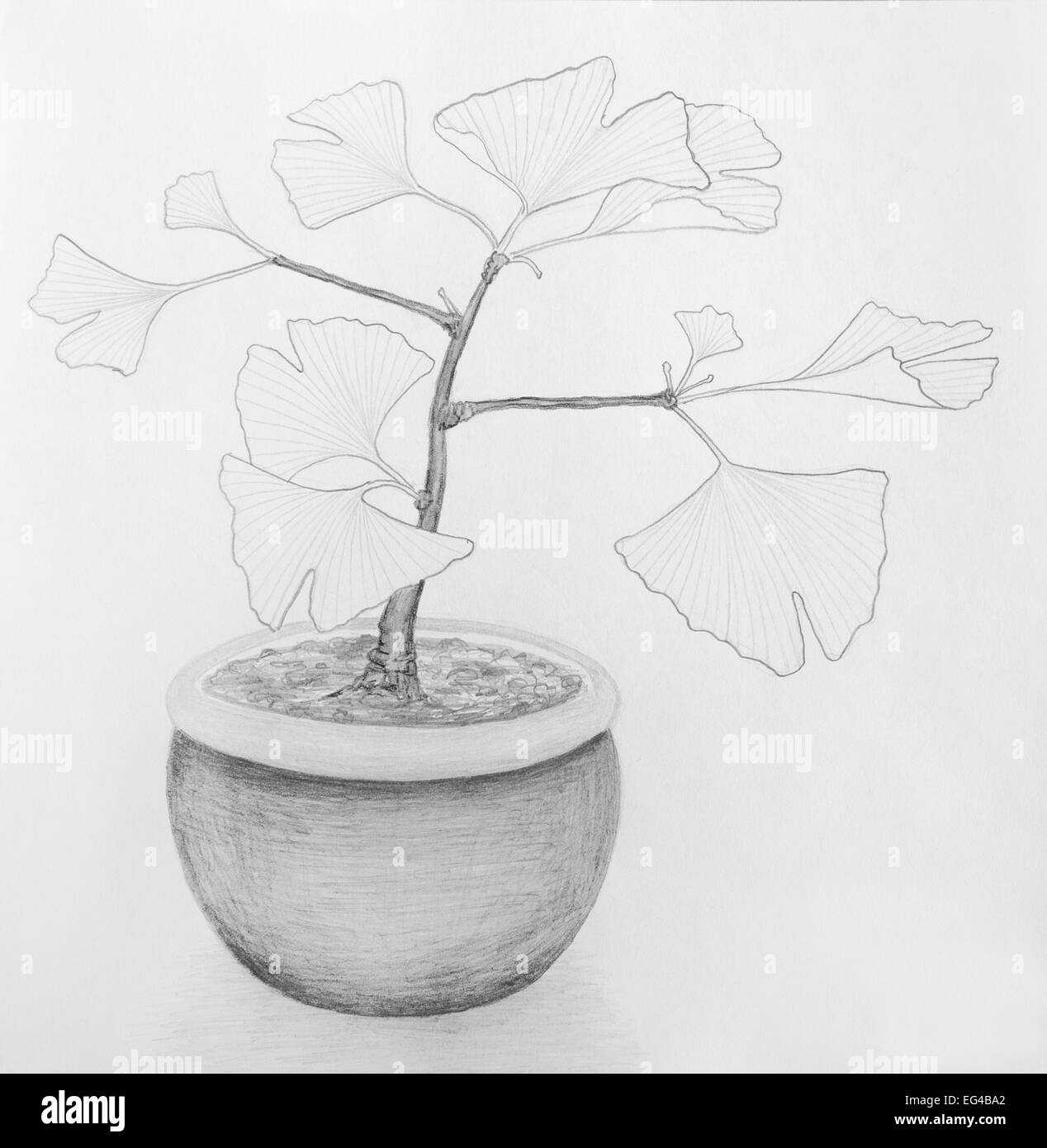 Pencil drawing of a little ginkgo biloba tree in a plant pot stock