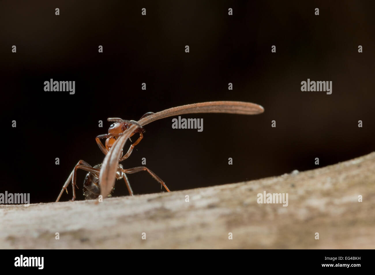 Red wood ant (Formica rufa) carrying construction material to anthill (fir needles) Germany. Stock Photo