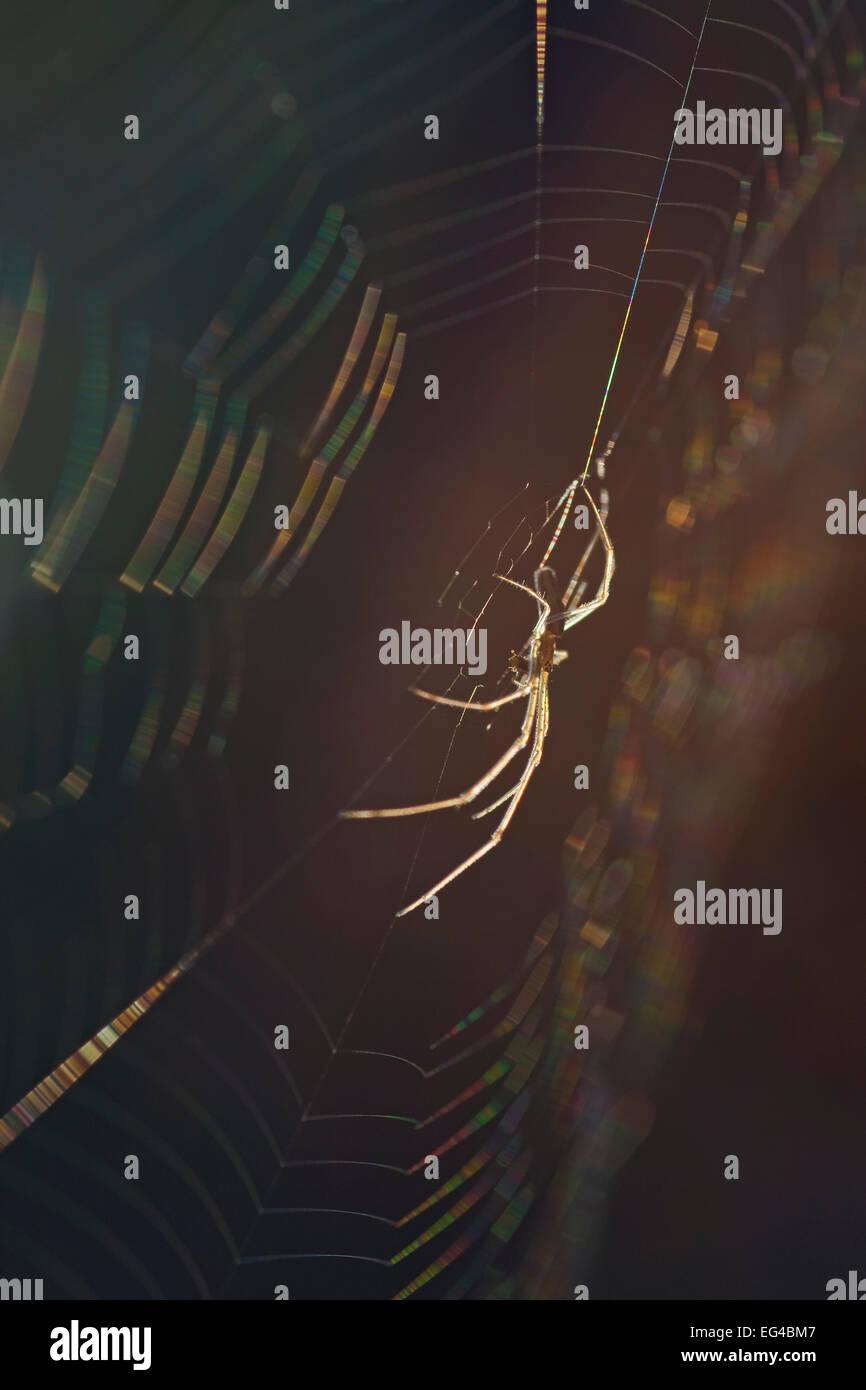 Long-jawed orb weaver spider (Tetragnatha nigrita) on web Germany. - Stock Image
