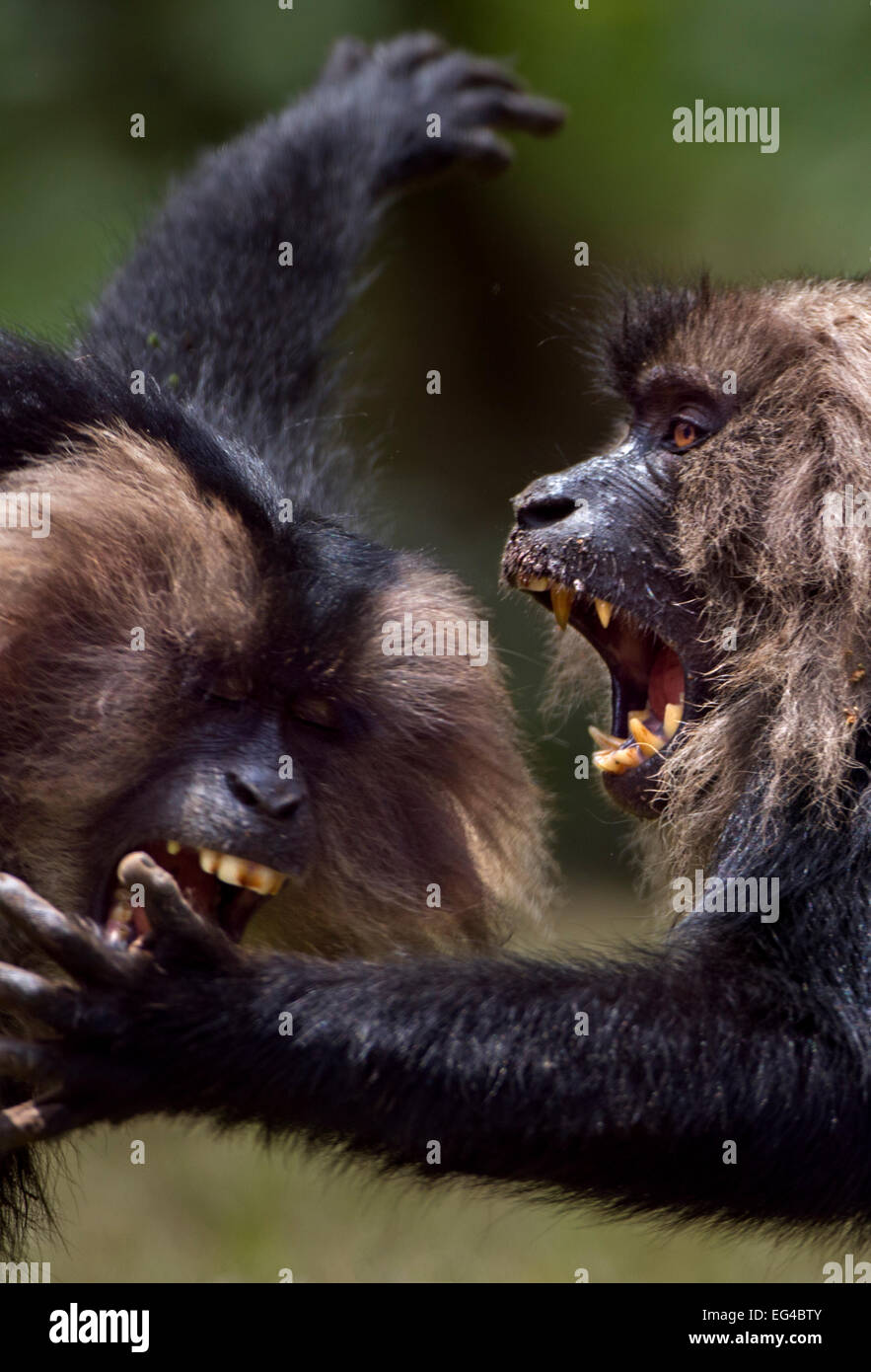 Lion-tailed macaques (Macaca silenus) play fighting. Anamalai Tiger Reserve Western Ghats Tamil Nadu India. - Stock Image