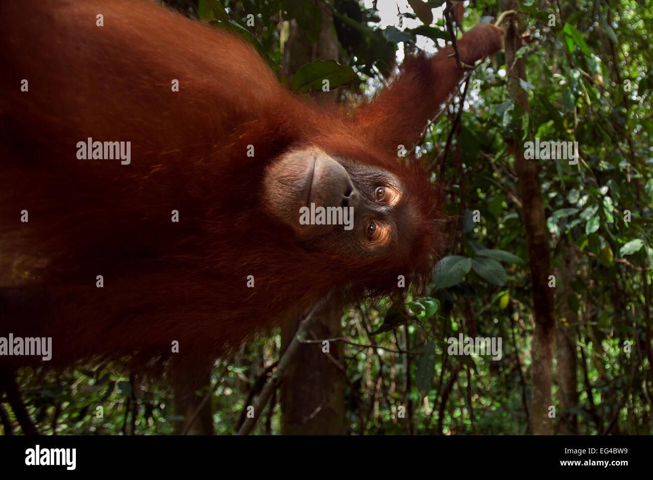 Sumatran orangutan (Pongo abelii) female 'Juni' aged 12 years swinging liana. Gunung Leuser National Park - Stock Image