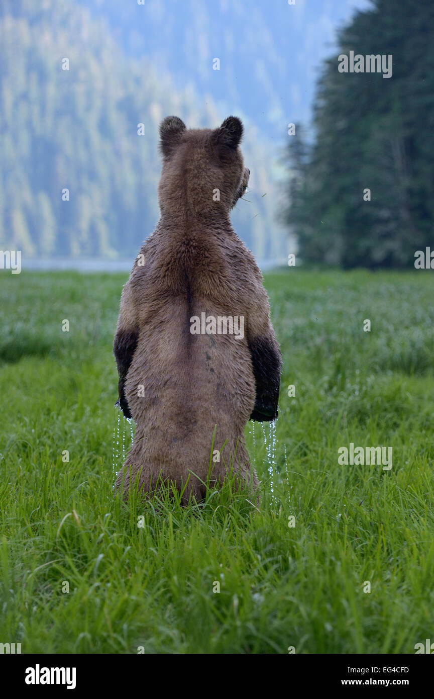 https://c8.alamy.com/comp/EG4CFD/female-grizzly-bear-ursus-arctos-horribilis-standing-up-rear-view-EG4CFD.jpg