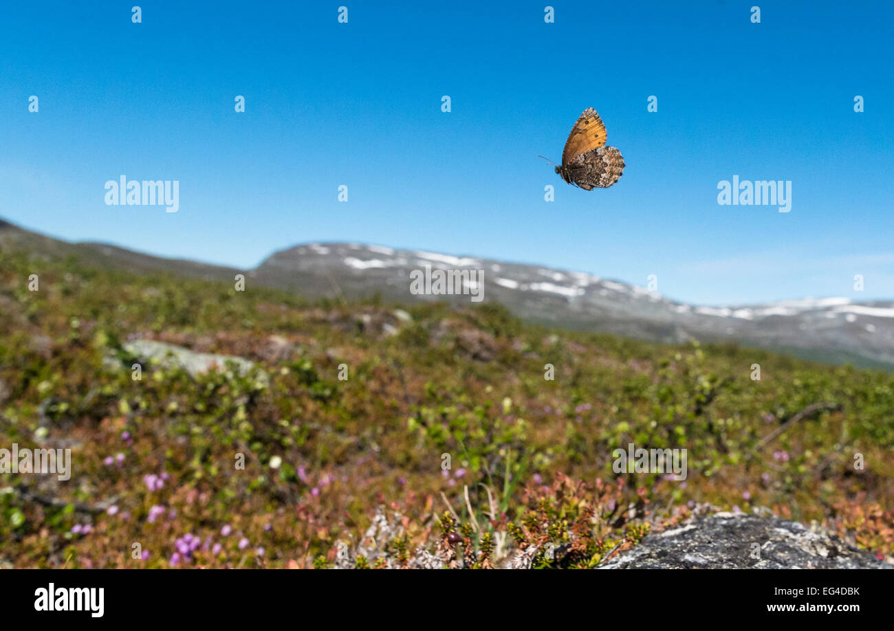 Norse Grayling butterfly (Oeneis norna) flying in habitat Lapland Finland July. - Stock Image