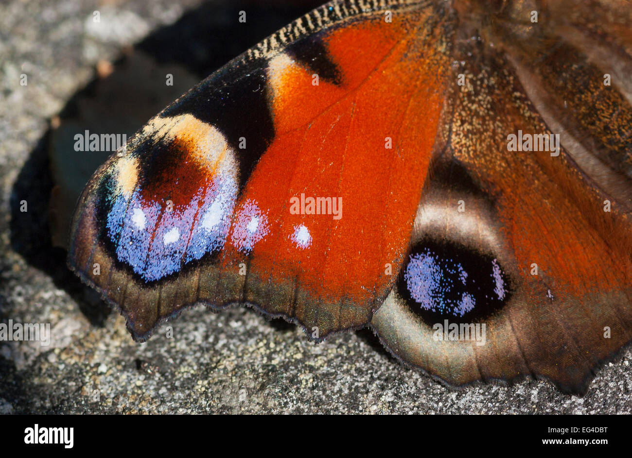 Peacock Butterfly (Inachis io) closeup wings South Karelia southern Finland September. - Stock Image