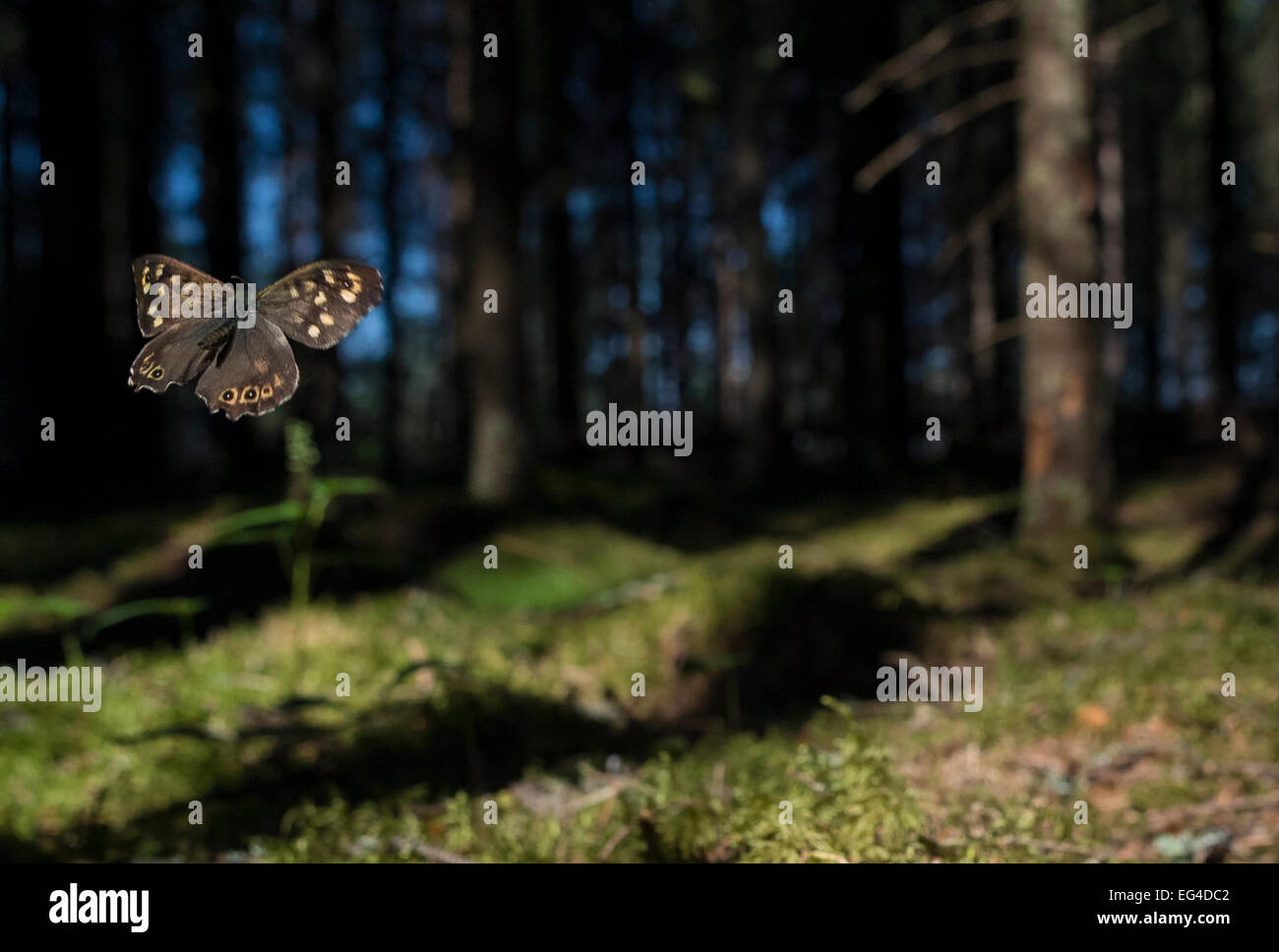 Speckled Wood (Pararge aegeria) male flying in habitat Finland April. - Stock Image