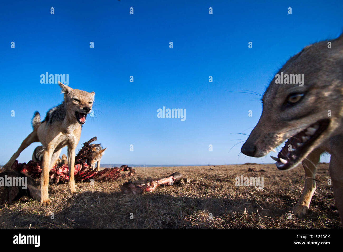Black-backed jackals (Canis mesomelas) feeding on wildebeest carcass. Masai Mara National Reserve Kenya. Taken remote - Stock Image