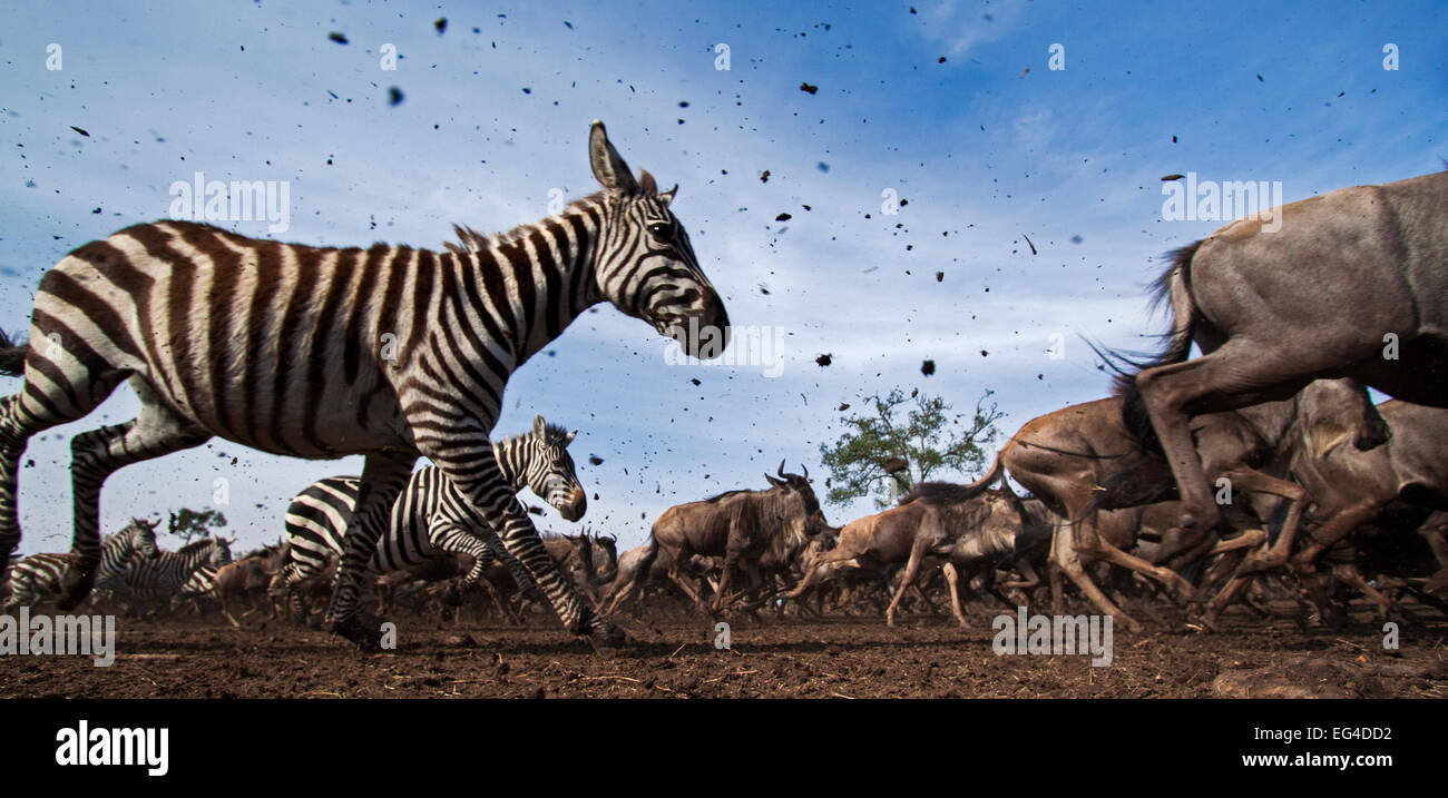 Common or plains zebra (Equus quagga burchelli) Eastern white-bearded wildebeest (Connochaetes taurinus) mixed herd - Stock Image