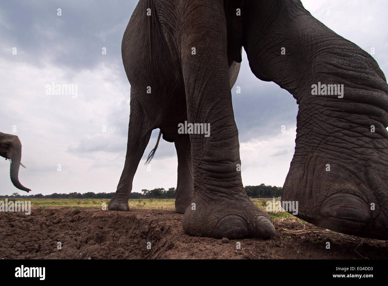 African elephant (Loxodonta africana) close-up. Masai Mara National Reserve Kenya. Taken remote wide angle camera. Stock Photo