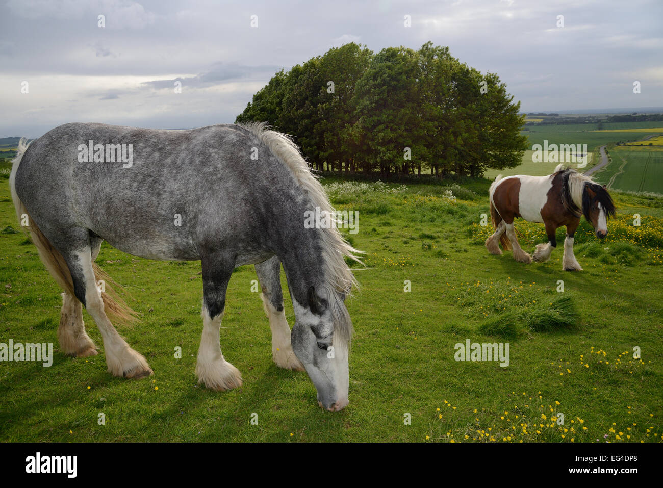 Two Irish Gypsy cob mares (Equus caballus) one dapple grey - grazing one piebald - walking on rough pastureland - Stock Image