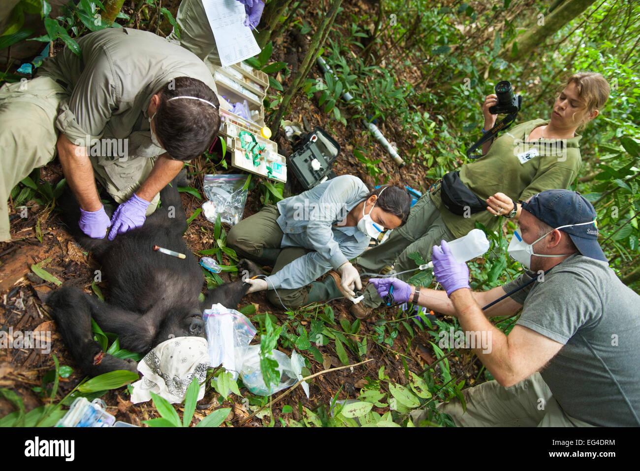 Angelique Todd veterinarians during the anaesthesia 'Blackback' Western Gorilla (Gorilla gorilla) 'Ngobo'. - Stock Image