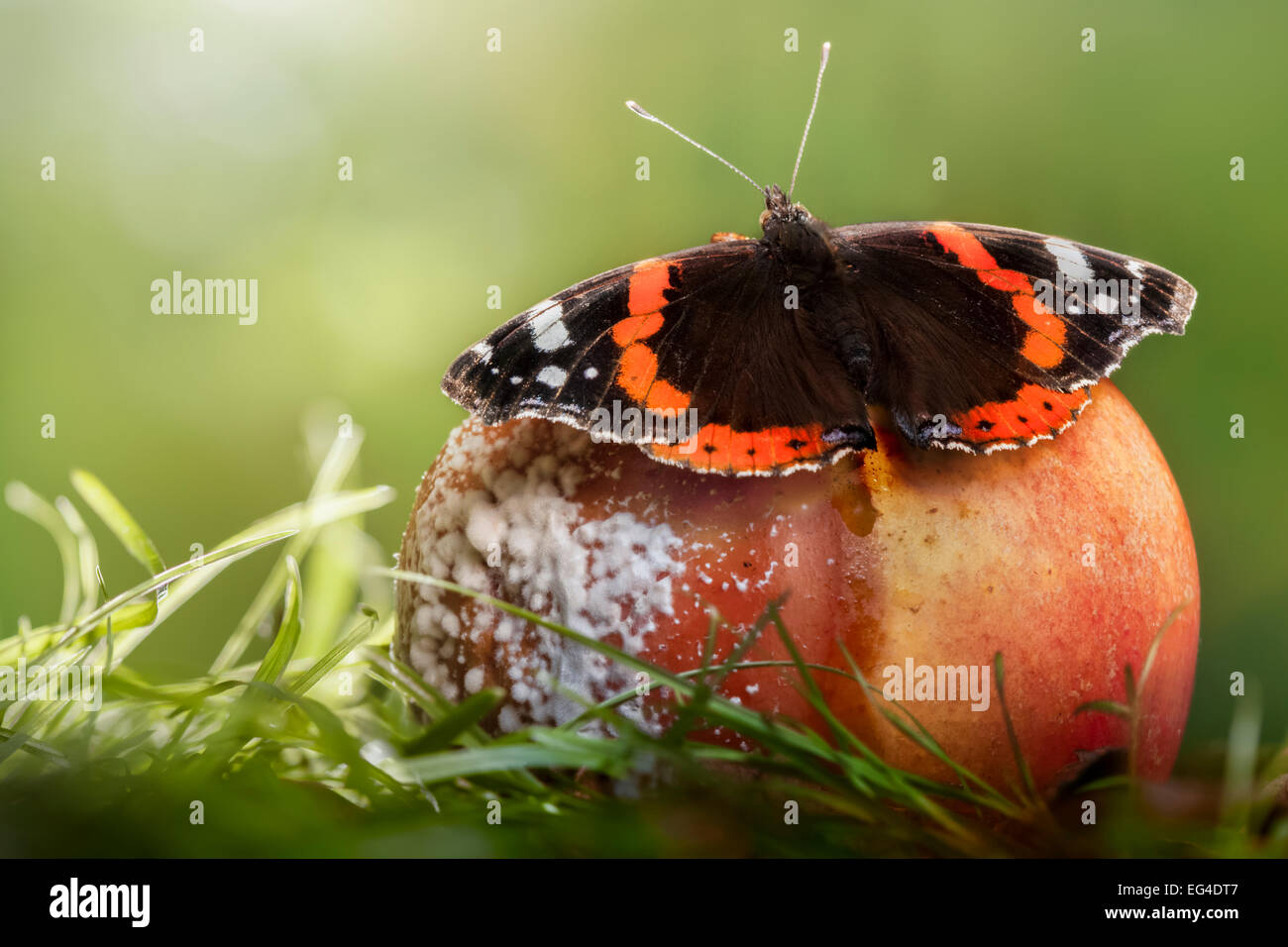 Red Admiral butterfly (Vanessa atalanta) feeding on rotten apple. Derbyshire August. - Stock Image