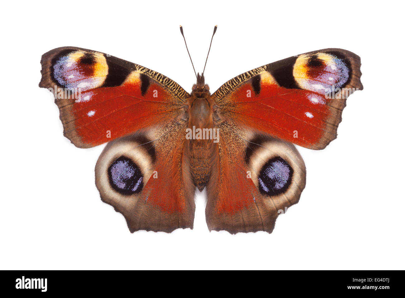 Peacock butterfly (Inachis io) basking open wings on white background in mobile field studio. Peak District National - Stock Image