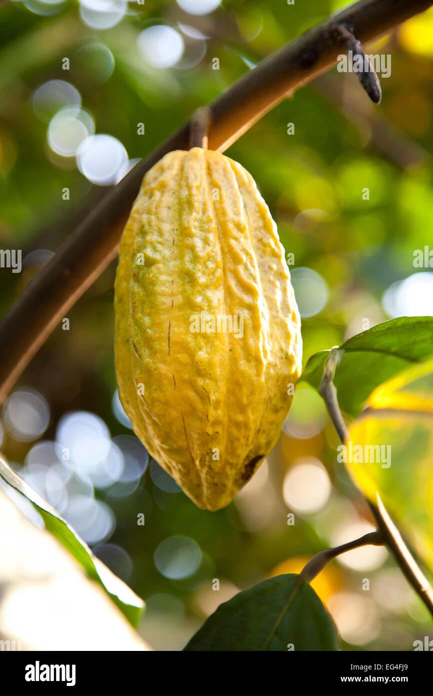 cocoa bean Stock Photo