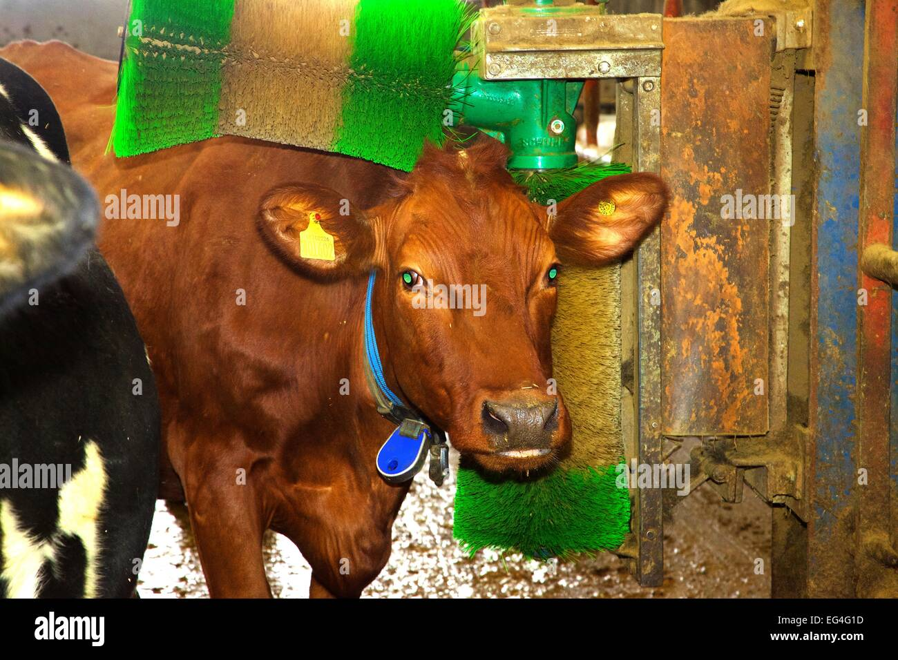 Cow Brush Stock Photos & Cow Brush Stock Images - Alamy