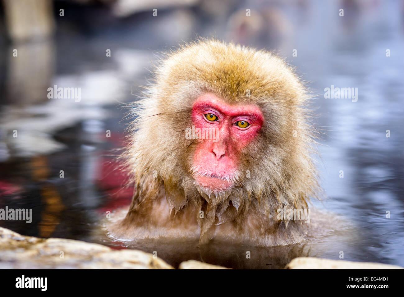 Snow Monkeys in Nagano, Japan. - Stock Image