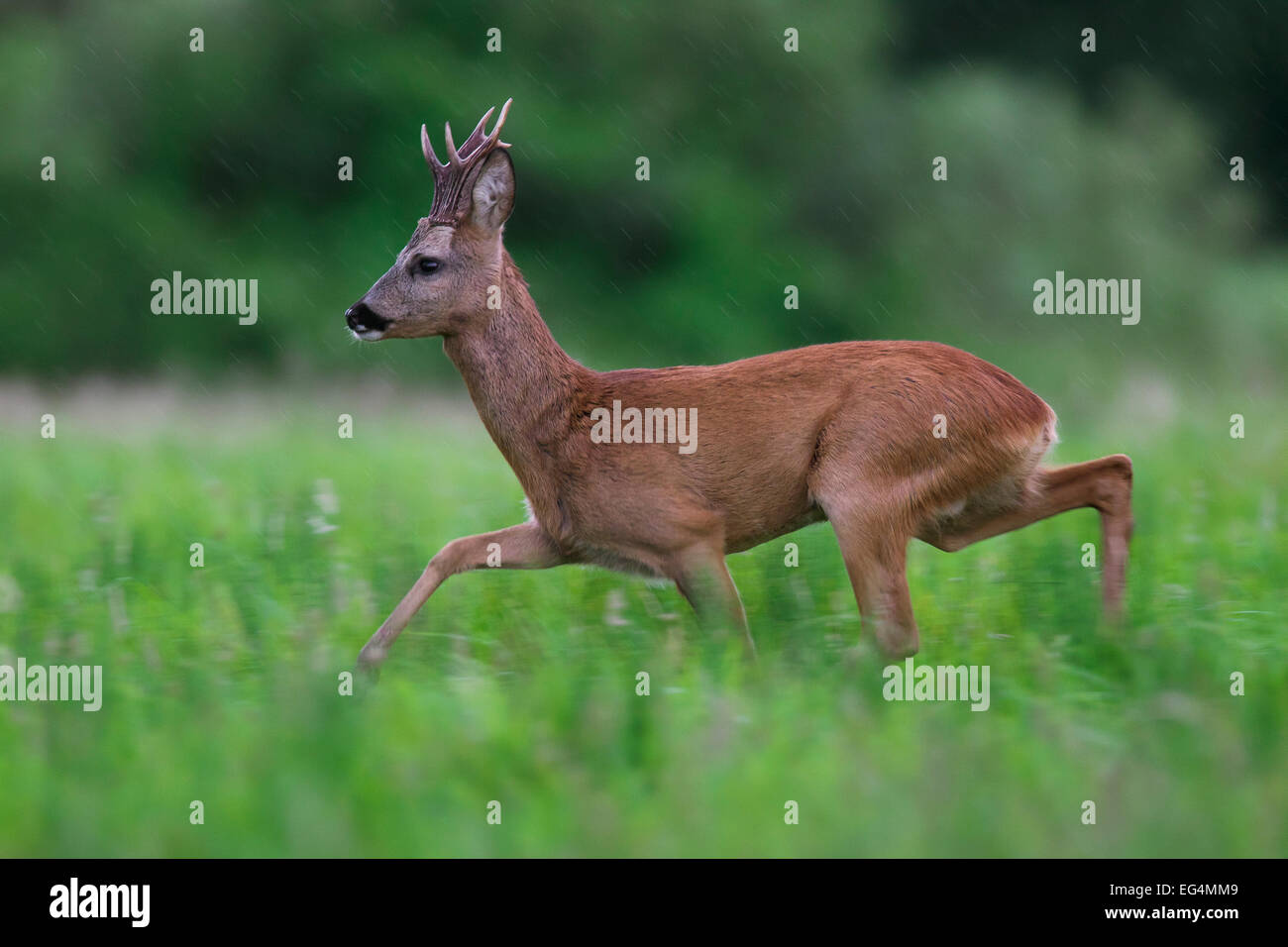 Roe deer (Capreolus capreolus) roebuck running though meadow in the rain in summer - Stock Image