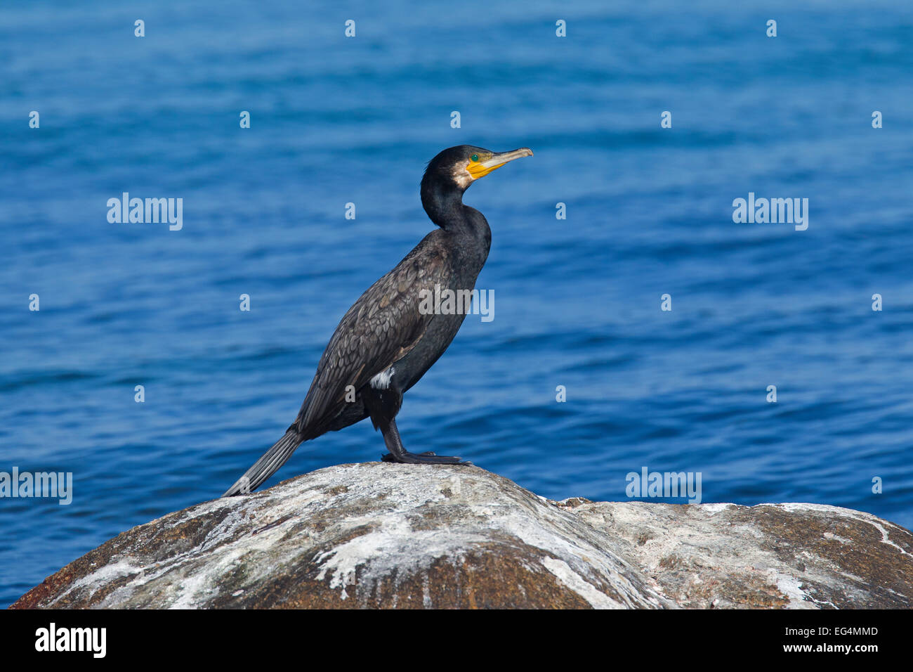 Great black cormorant (Phalacrocorax carbo) perched on rock covered in bird droppings at the sea coast - Stock Image