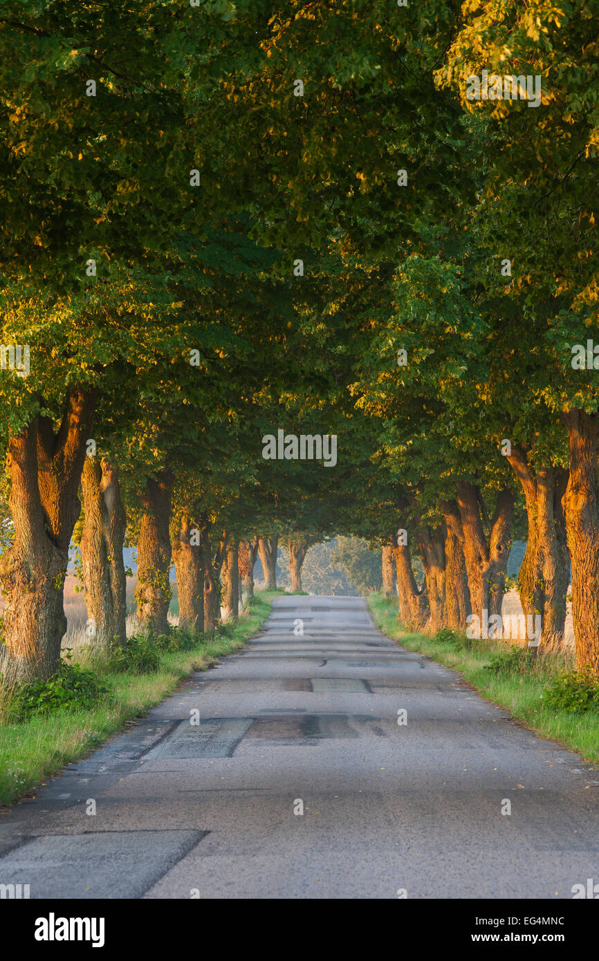 Silver lime trees / Silver Linden (Tilia tomentosa) bordering desolate road in the countryside in summer - Stock Image