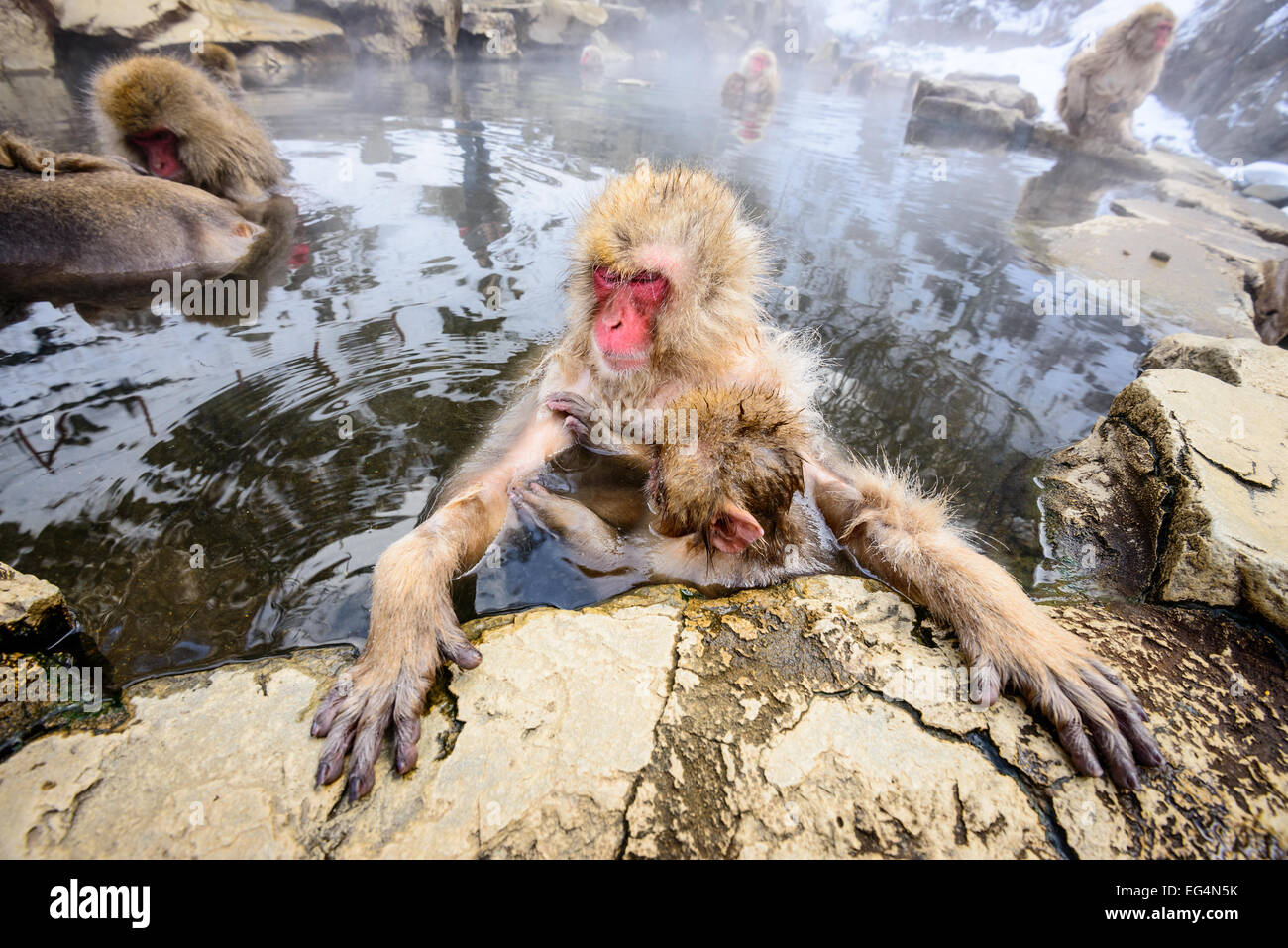 Snow Monkeys in Nagano, Japan. - Stock Image