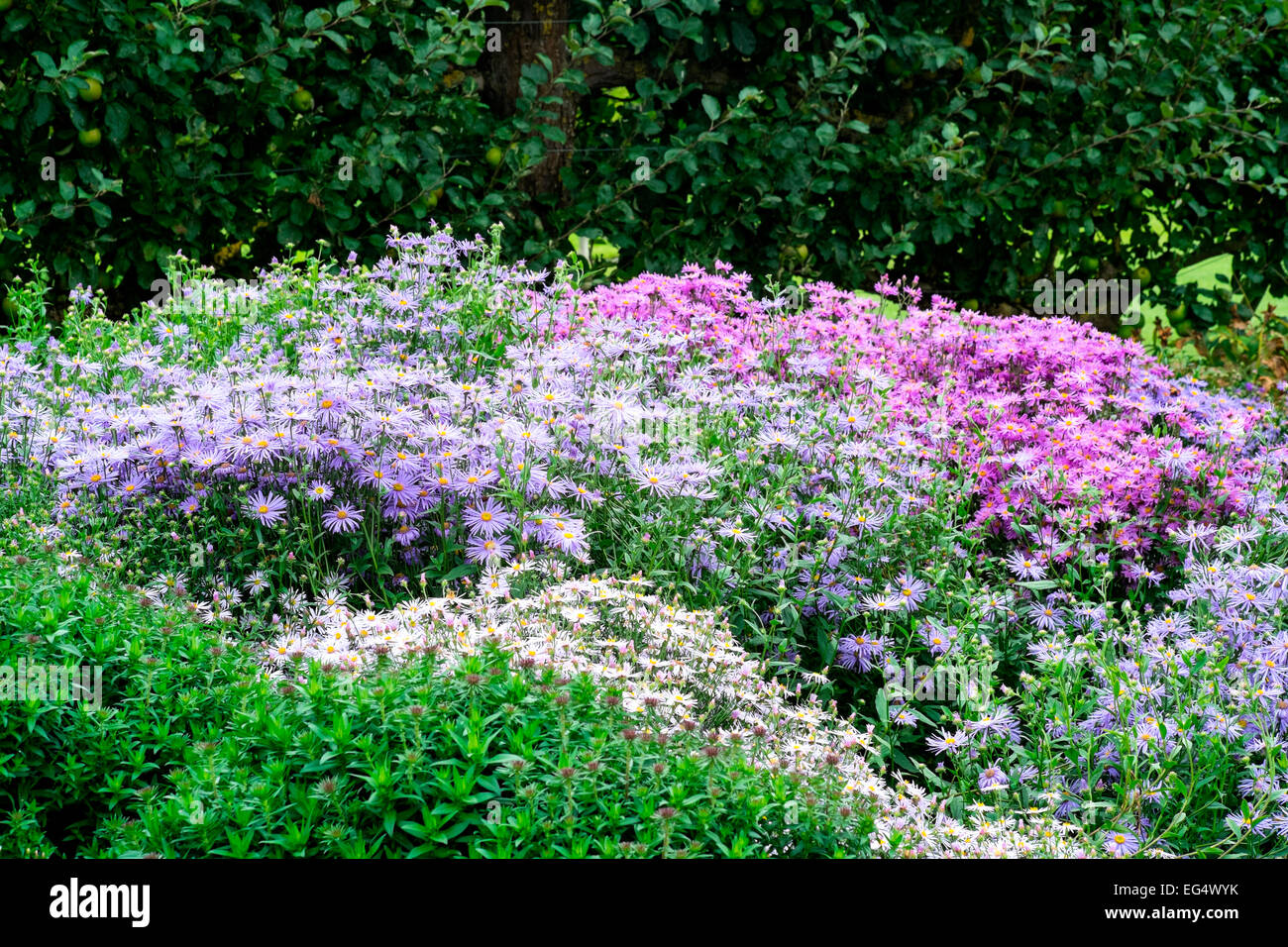 Flower bed with white pink and purple asters stock photo 78784151 flower bed with white pink and purple asters mightylinksfo