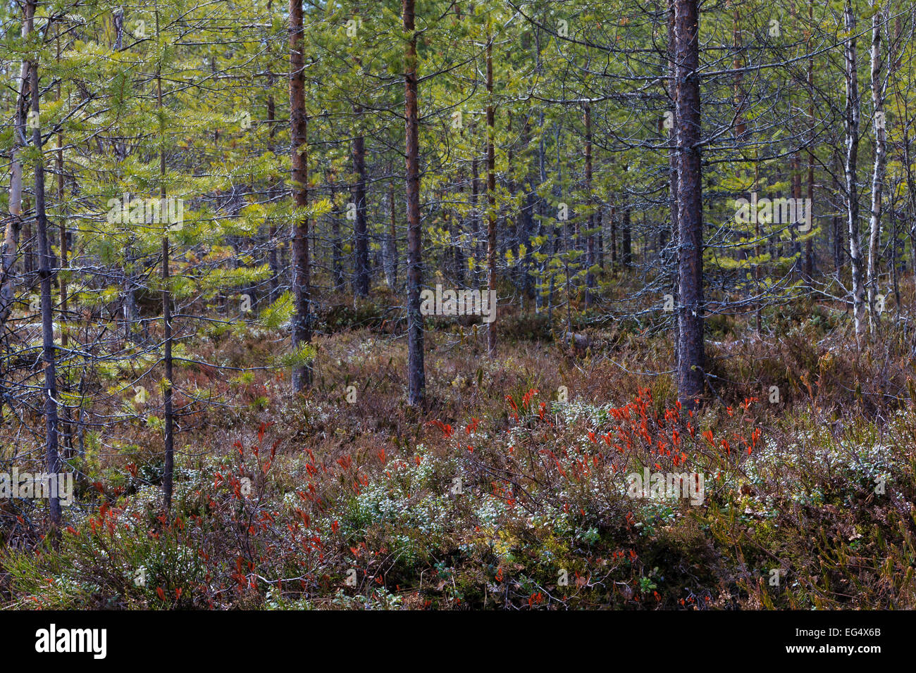 Boreal forest, Viiksimo Finland - Stock Image