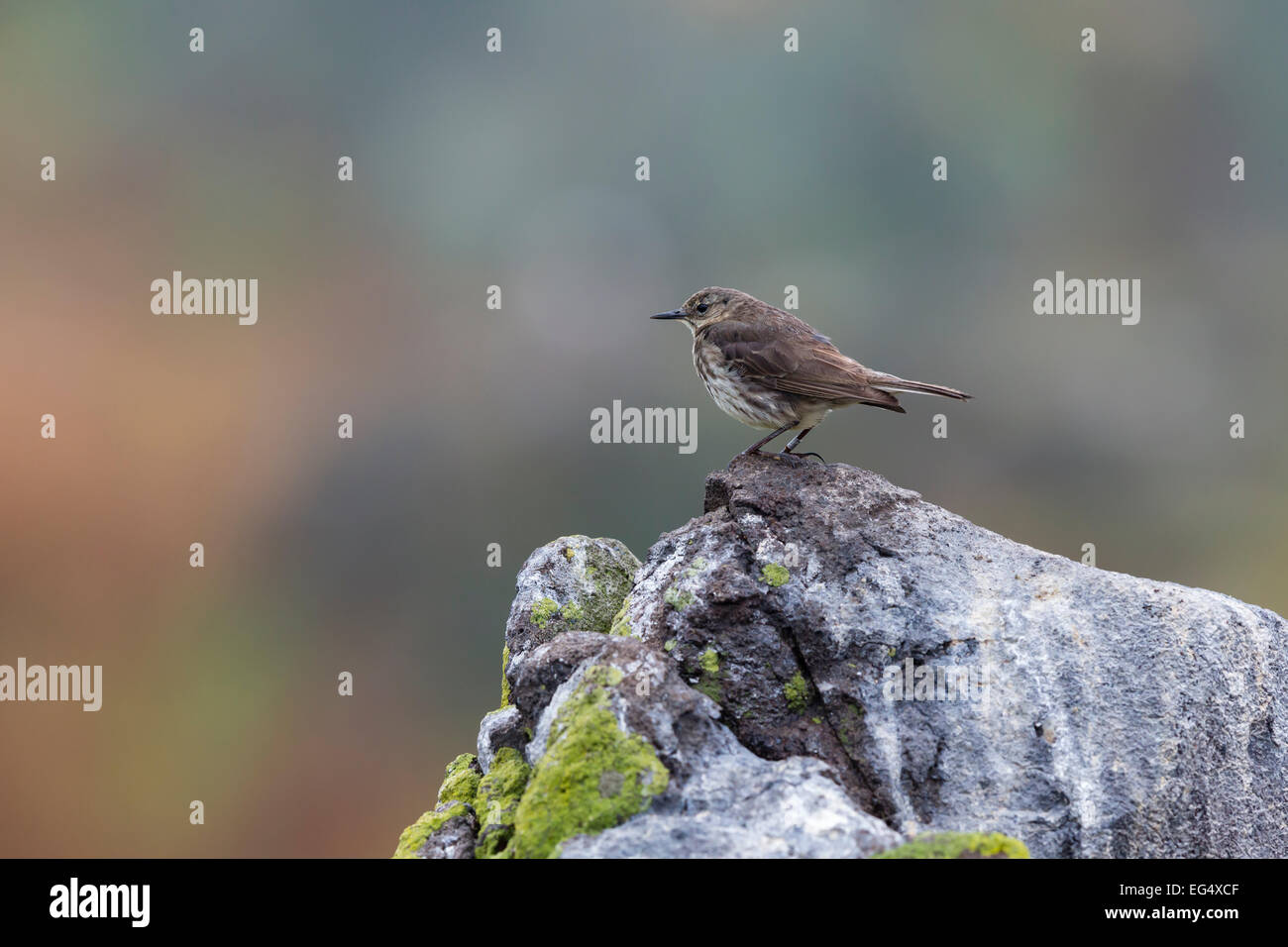 A rock pipit (Anthus spinoletta) perches on a rock - Stock Image