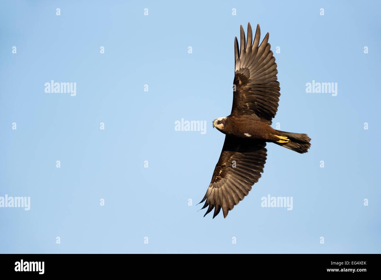 Marsh harrier (Circus aeruginosus) in flight against a clear blue sky; Cambridgeshire England UK Stock Photo