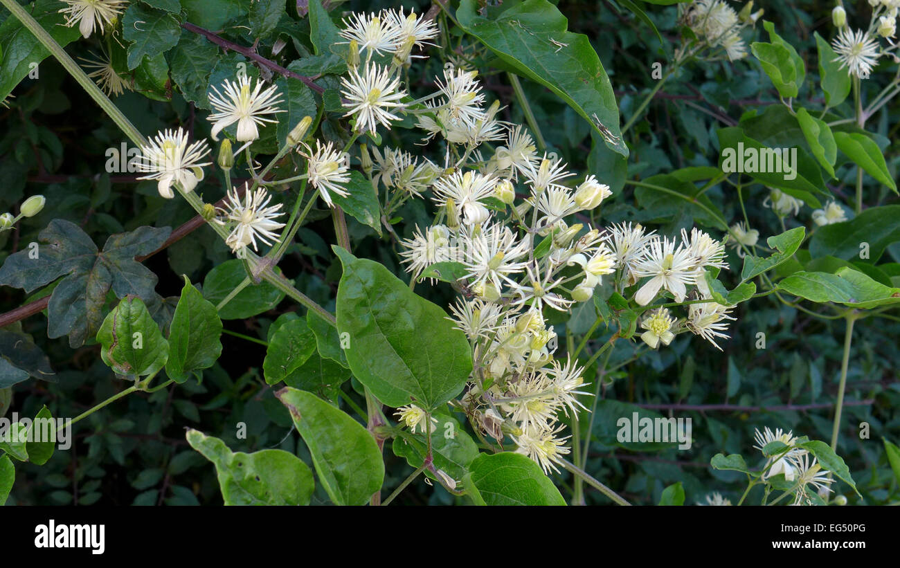 Old Man's Beard in flower - Stock Image