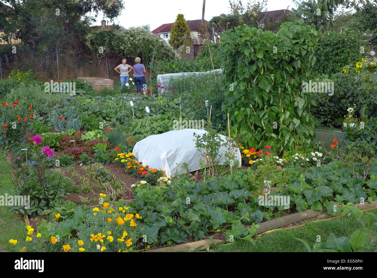 An allotment garden in Chippenham  Wiltshire with  a mix of vegetables and flowers. Allotment owner socialise. - Stock Image