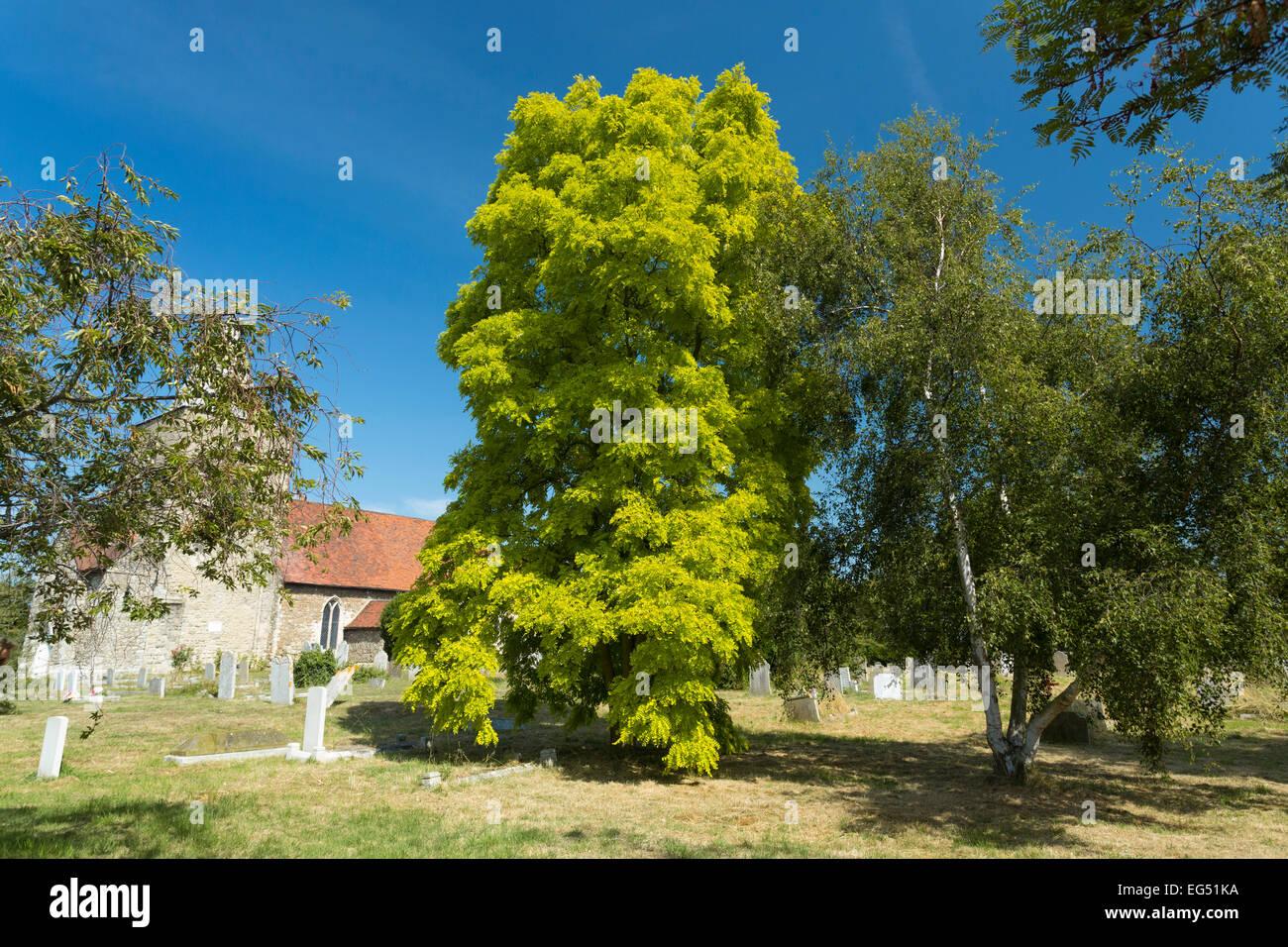 ash tree in the UK - Stock Image