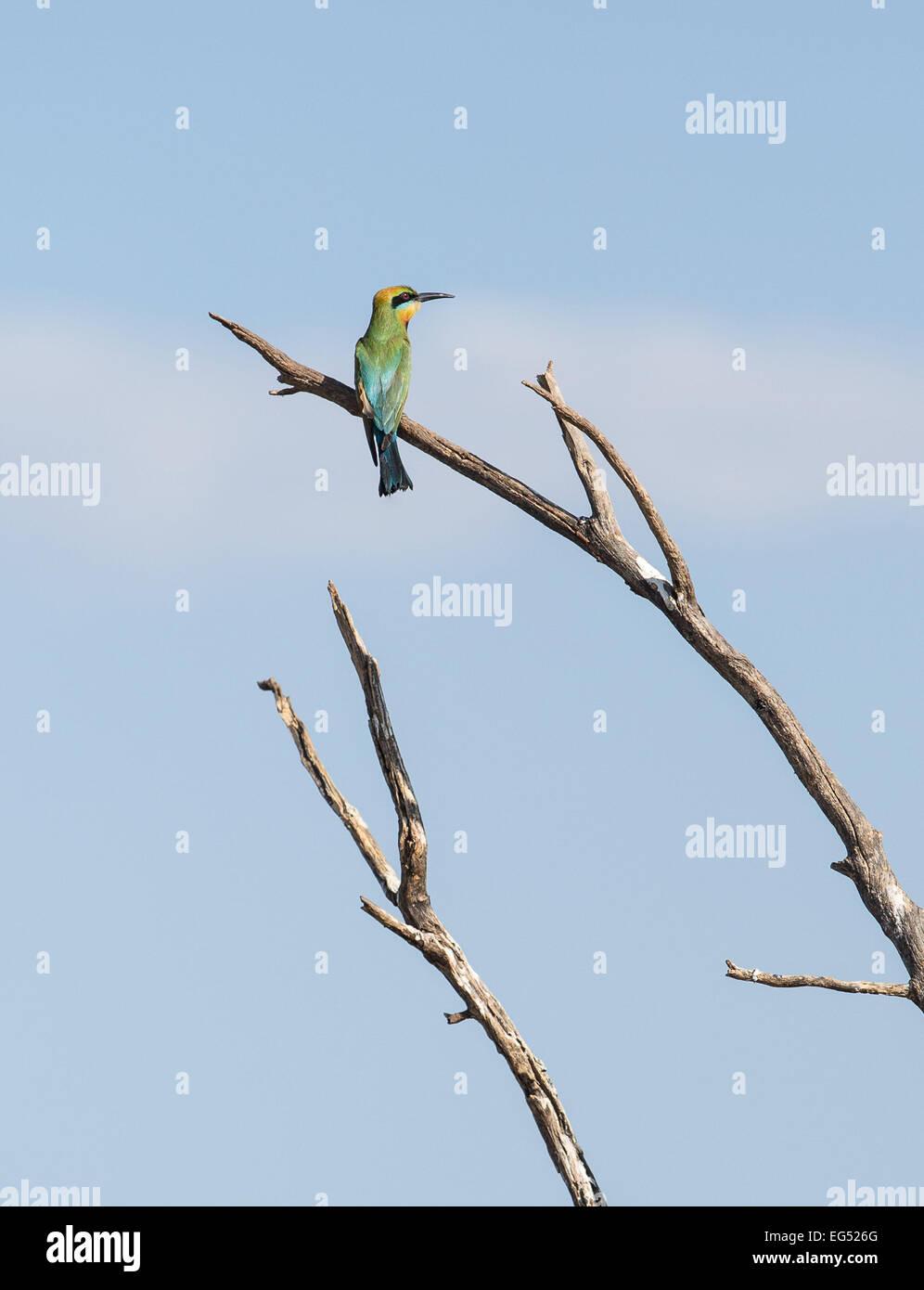 Rainbow bee-eater, near Darwin Australia - Stock Image