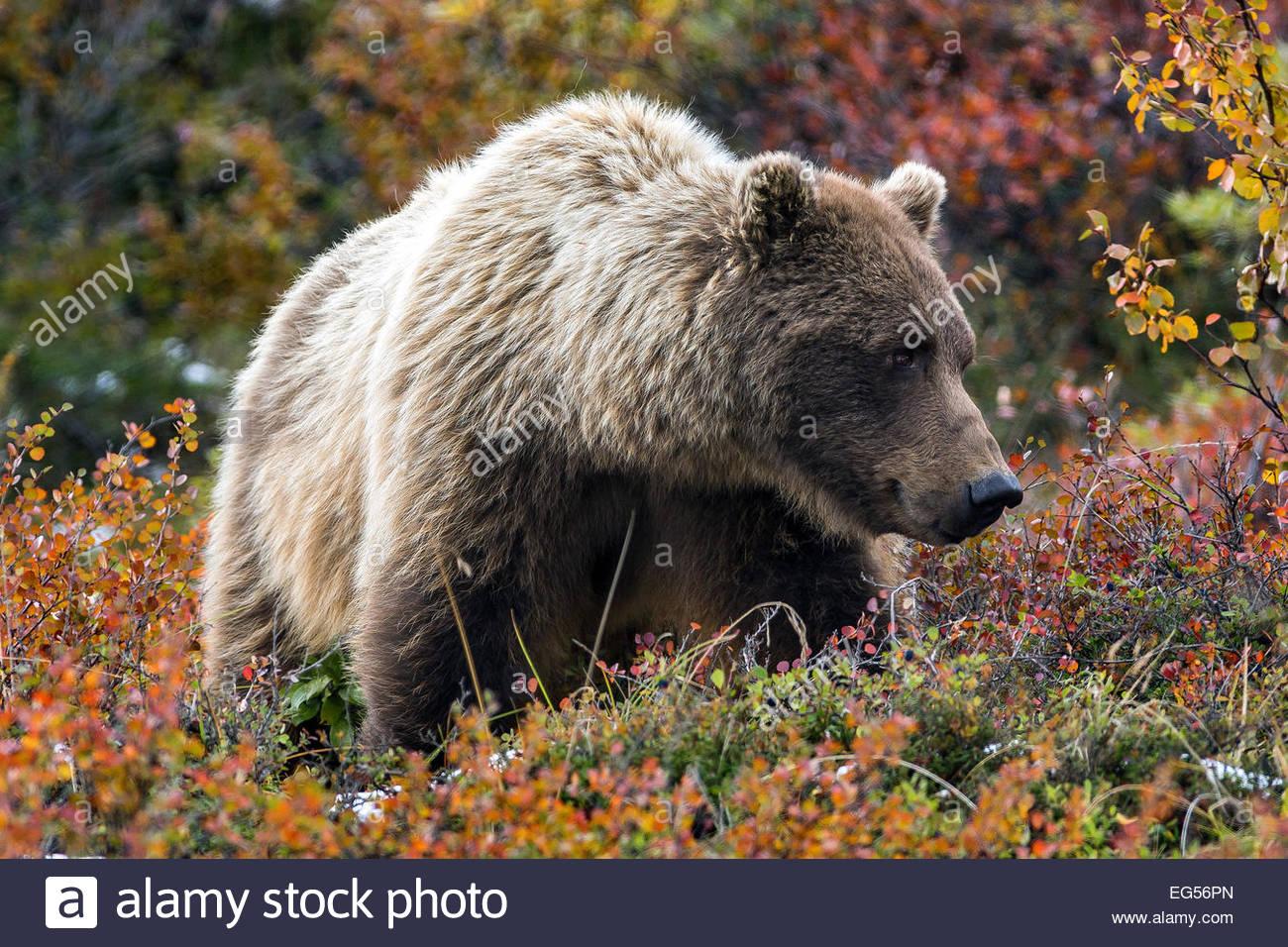 Grizzly bear (ursus arctos horribilis - female) in Denali national Park - Alaska - Stock Image