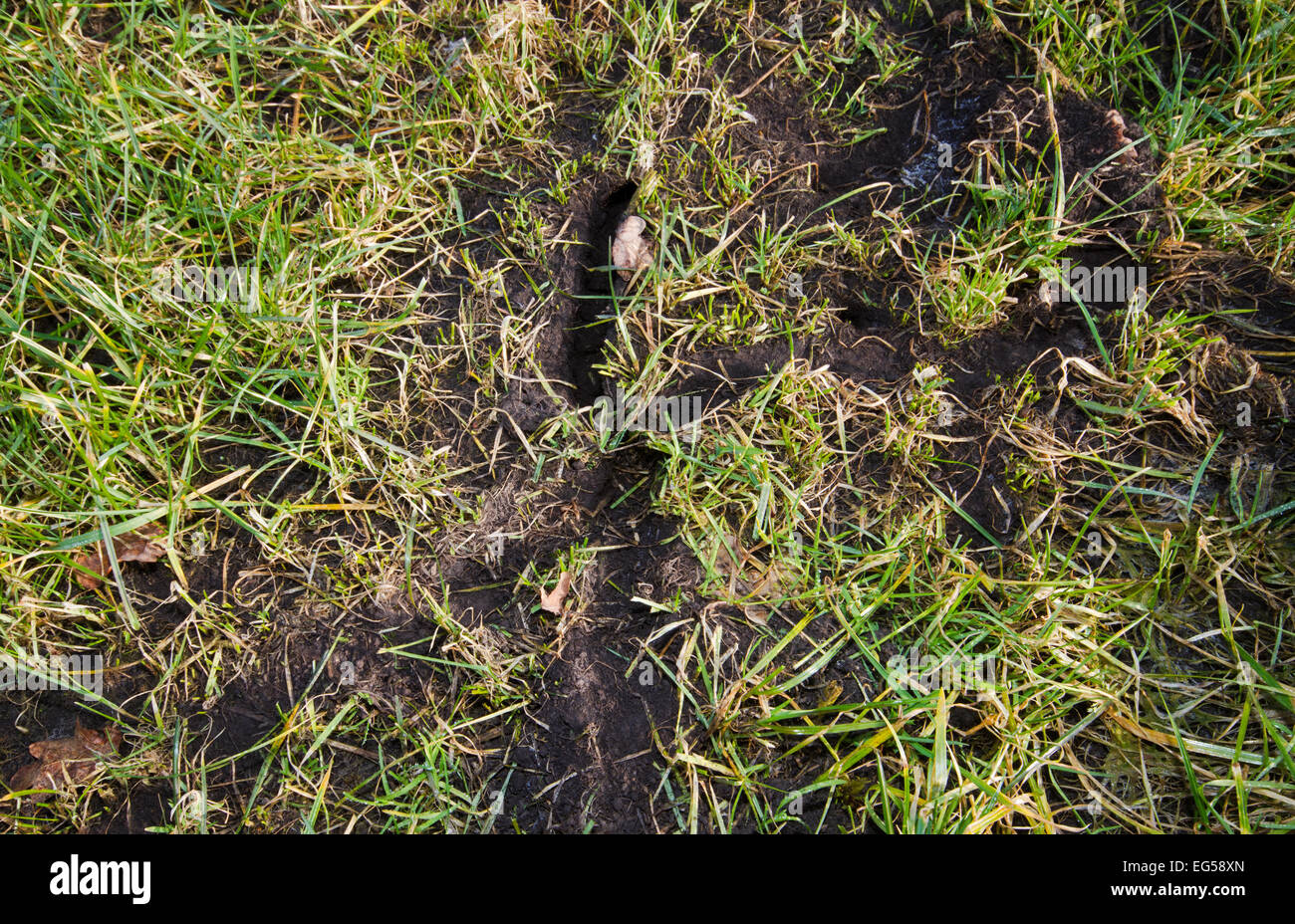 Turf pest by Meadow Mice: runways and hole of Common vole - Stock Image