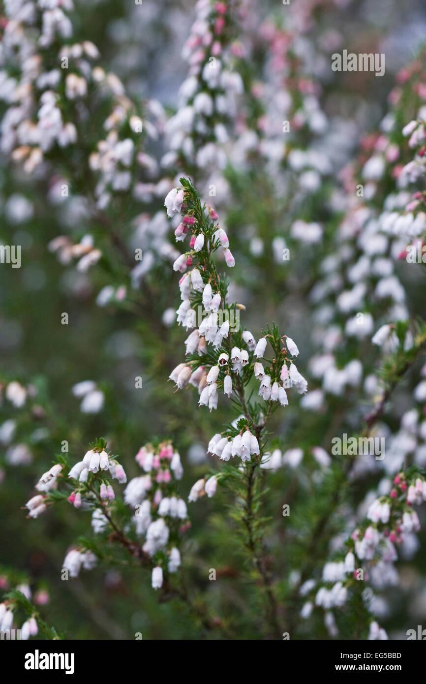 Erica heather white flower garden stock photos erica heather white spanish heath flower stock image mightylinksfo